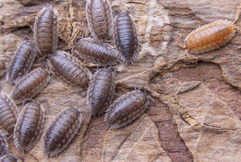 Capsules d'informations sur les Isopodes – Généralité  1/3