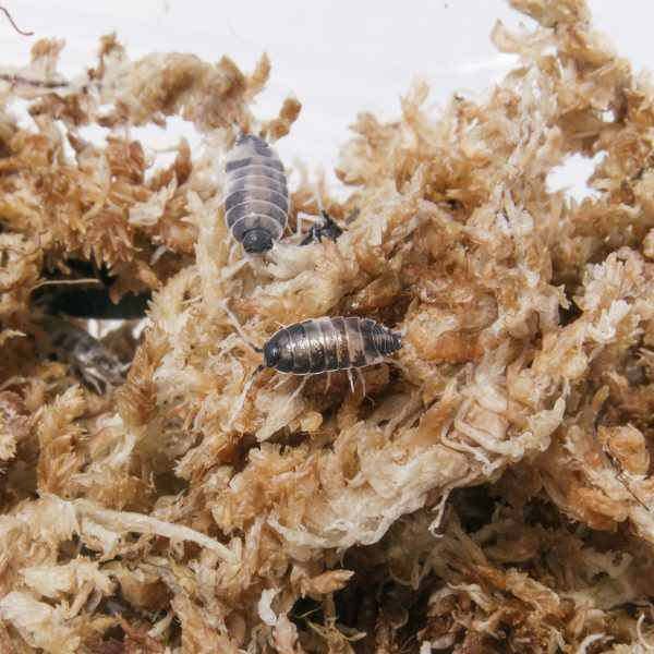 Isopodes Porcellionides pruinosus oreo crumbles