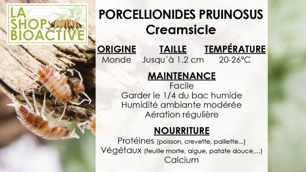 fiche d'elevage porcellionides pruinosus creamsicle creamisicle