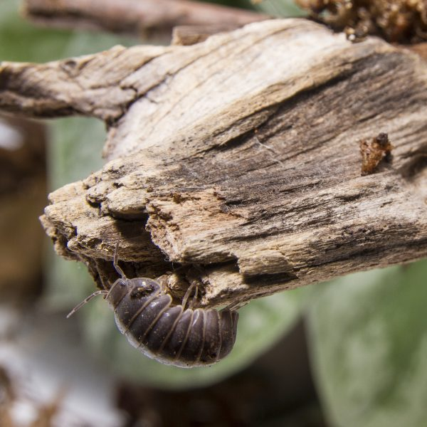 armadillidium officinalis greece